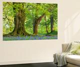 Beech and Oak Trees Above a Carpet of Bluebells in a Woodland, Blackbury Camp, Devon Poster géant par Adam Burton