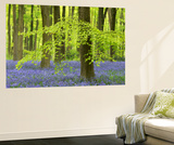 Bluebells and Beech Trees in West Woods, Wiltshire, England. Spring (May) Poster géant par Adam Burton