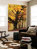 Beech Tree with Autumn Colours, Lake District, Cumbria, England. Autumn Poster géant par Adam Burton