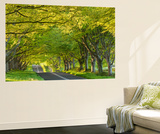 Ancient Beech Tree Avenue at Kingston Lacy, Badbury Rings, Dorset, England. Spring Wall Mural by Adam Burton