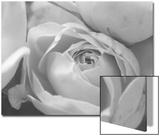 Black and White Rose Detail Kunstdrucke von Anna Miller