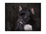 Black French Bulldog Portrait Giclée-vedos tekijänä Jai Johnson