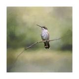 Tiny Visitor Hummingbird Giclee Print by Jai Johnson