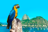 Blue and Yellow Macaw in Rio De Janeiro, Brazil Stampa fotografica di  filipefrazao