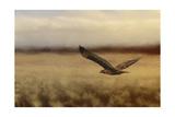 Redtail in the Field Reproduction procédé giclée par Jai Johnson