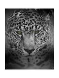 An Intense Stare Giclee Print by Jai Johnson