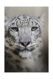 Stare of the Snow Leopard Giclee-trykk av Jai Johnson
