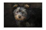 Yorkie Puppy Lámina giclée por Jai Johnson
