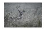 Foggy Morning Buck Giclee Print by Jai Johnson