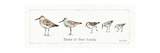 Pebbles and Sandpipers IX Prints by Lisa Audit