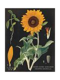 Sunflower Chart Print by Sue Schlabach