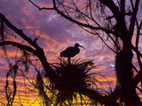 USA, Florida. Ibis on Nest at Sunset Reproduction photographique par Jaynes Gallery