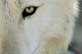 Ramah, New Mexico, United States. Wild Spirit Wolf Sanctuary Fotografie-Druck von Julien McRoberts