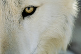 Ramah, New Mexico, United States. Wild Spirit Wolf Sanctuary Lámina fotográfica por Julien McRoberts