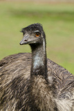 Australia, Adelaide. Cleland Wildlife Park. Large Flightless Emu Reproduction photographique par Cindy Miller Hopkins