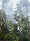 Moss Covered Old Growth Douglas Fir Trees in the Rainforest. Oregon Lámina fotográfica por Christopher Talbot Frank
