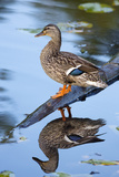 Wa, Mercer Slough, Mallard Female Duck, Anas Platyrhynchos Reproduction photographique par Jamie And Judy Wild