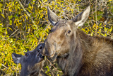 USA, Wyoming, Headshot of Cow and Calf Moose Nuzzling Each Other Reproduction photographique par Elizabeth Boehm