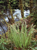 Oregon, Umpqua National Forest, a Fern Growing Along Little River Fotografisk trykk av Christopher Talbot Frank