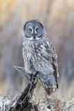 USA, Wyoming, Portrait of Great Gray Owl on Perch Reproduction photographique par Elizabeth Boehm