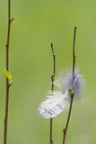 USA, Wyoming, Owl Feather Hanging from Aspen Shoot Reproduction photographique par Elizabeth Boehm