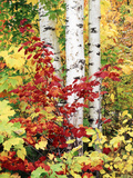 New York, Adirondack Mts, the Fall Colors of Trees Fotografisk trykk av Christopher Talbot Frank
