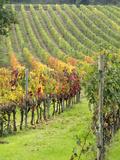 Italy, Tuscany, Val Dorcia. Colorful Vineyards in Autumn Fotografisk tryk af Julie Eggers
