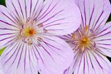 Wyoming, Sublette County, Close Up of Two Sticky Geranium Flowers Reproduction photographique par Elizabeth Boehm