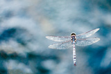 Dragonfly Hovering over Blue Water Reproduction photographique par James White