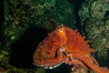 Giant Pacific Octopus Portrait Off Vancouver Island, B.C Fotoprint van James White