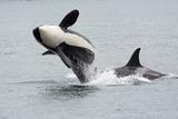 Washington, San Juan Islands. Killer Whales or Orcas, Orcinus Orca Photographic Print by Charles Sleicher