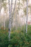 USA, New Hampshire. Birch Trees in Clearing Fog Fotoprint van Jaynes Gallery