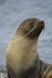 South Georgia. Antarctic Fur Seal, Arctocephalus Gazella Photographic Print by Inger Hogstrom