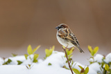 Wichita County, Texas. House Sparrow after Winter Snow Reproduction photographique par Larry Ditto