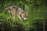 Minnesota, Sandstone, Minnesota Wildlife Connection. Grey Wolf Pup Fotoprint av Rona Schwarz