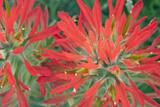 USA, Wyoming, Close Up of Desert Paintbrush Flowers Reproduction photographique par Elizabeth Boehm