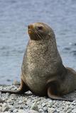 South Georgia. Male Antarctic Fur Seal, Arctocephalus Gazella Fotografisk tryk af Inger Hogstrom
