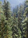 Strathcona Provincial Park, Vancouver Island, the Dense Rainforest Lámina fotográfica por Christopher Talbot Frank