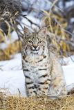 USA, Wyoming, Portrait of Bobcat Sitting Reproduction photographique par Elizabeth Boehm
