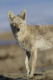 Wyoming, Sublette County, Coyote Walking Along Beach Fotografie-Druck von Elizabeth Boehm