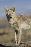 Wyoming, Sublette County, Coyote Walking Along Beach Lámina fotográfica por Elizabeth Boehm