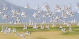 USA, Montana, Red Rock Lakes, Flock of Franklyns Gulls in Flight Reproduction photographique par Elizabeth Boehm