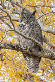 Wyoming, Great Horned Owl Roosting in Cottonwood Reproduction photographique par Elizabeth Boehm