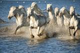 White Horses of Camargue, France, Running in Blue Mediterranean Water Fotoprint av Sheila Haddad