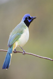 Starr County, Texas. Green Jay Threat Display to Other Jays Reproduction photographique par Larry Ditto