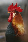Farmyard Domestic Rooster, Close Up Reproduction photographique par Stuart Westmorland