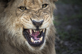 Male Lion Growling, Close Up Photographic Print by Sheila Haddad
