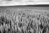 Palouse Wheat Field, Washington Reproduction photographique par James White