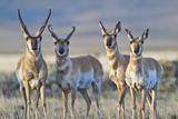 USA, Wyoming, Four Pronghorn Antelope Bucks in Spring Reproduction photographique par Elizabeth Boehm