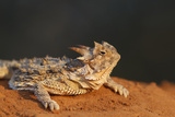 Starr County, Texas. Horned Lizard Crawling on Red Soil Reproduction photographique par Larry Ditto